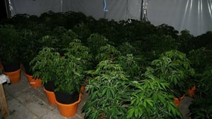The seizure of more than 800 cannabis plants was made during searches on Saturday