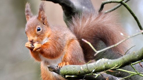 The red squirrel, although still quite widespread, has disappeared from many forests