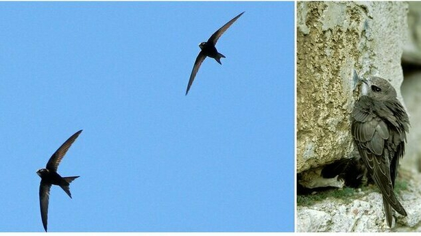 Pictures of Swifts courtesy of BirdWatch Ireland; photos by (l) Paulina Skoczylas and (r) Artur Tabor