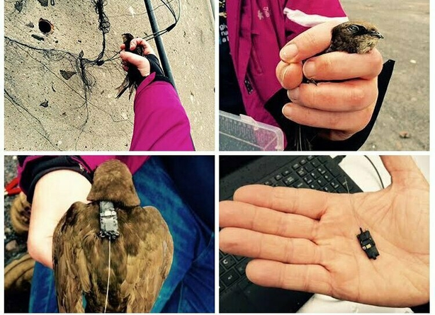 Clockwise from top left: (i) Bird in the hand; (ii) Ready for tagging; (iii) GPS logger fitted 0.8g; (iv) GPS tag