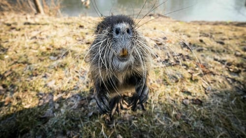 Distinctive features of the coypu include large, bright orange-yellow incisor teeth and webbed hind feet