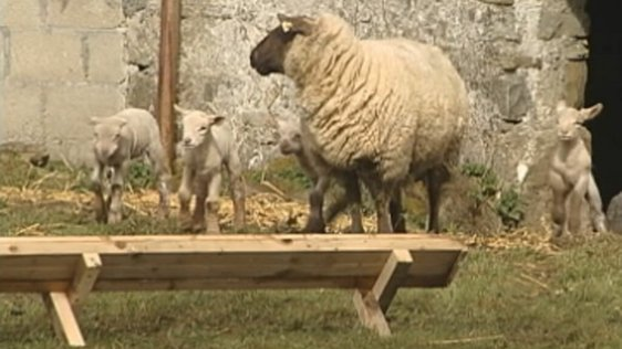 Ewe and lambs on Johnny Pettit's farm, Moate Co. Westmeath (2004)