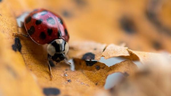 A ladybird rests on a fallen leaf. Photo credit; Monika Skolimowska/Getty Images.