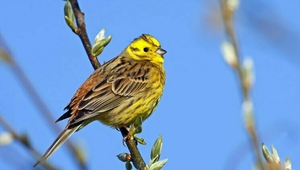 A stunning Yellowhammer perched on a tree. Photo credit: Mathias Schaef/Getty Images.