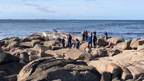 The sperm whale washed up at the weekend in Co Galway