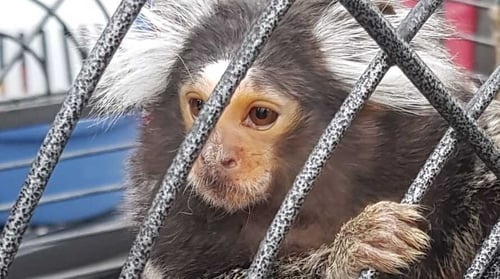 A monkey was found during the raid and taken away by animal welfare officers