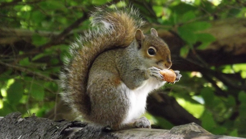 The grey squirrel, one of Ireland's Top 10 unwanted species. Photo: Brian Keeley
