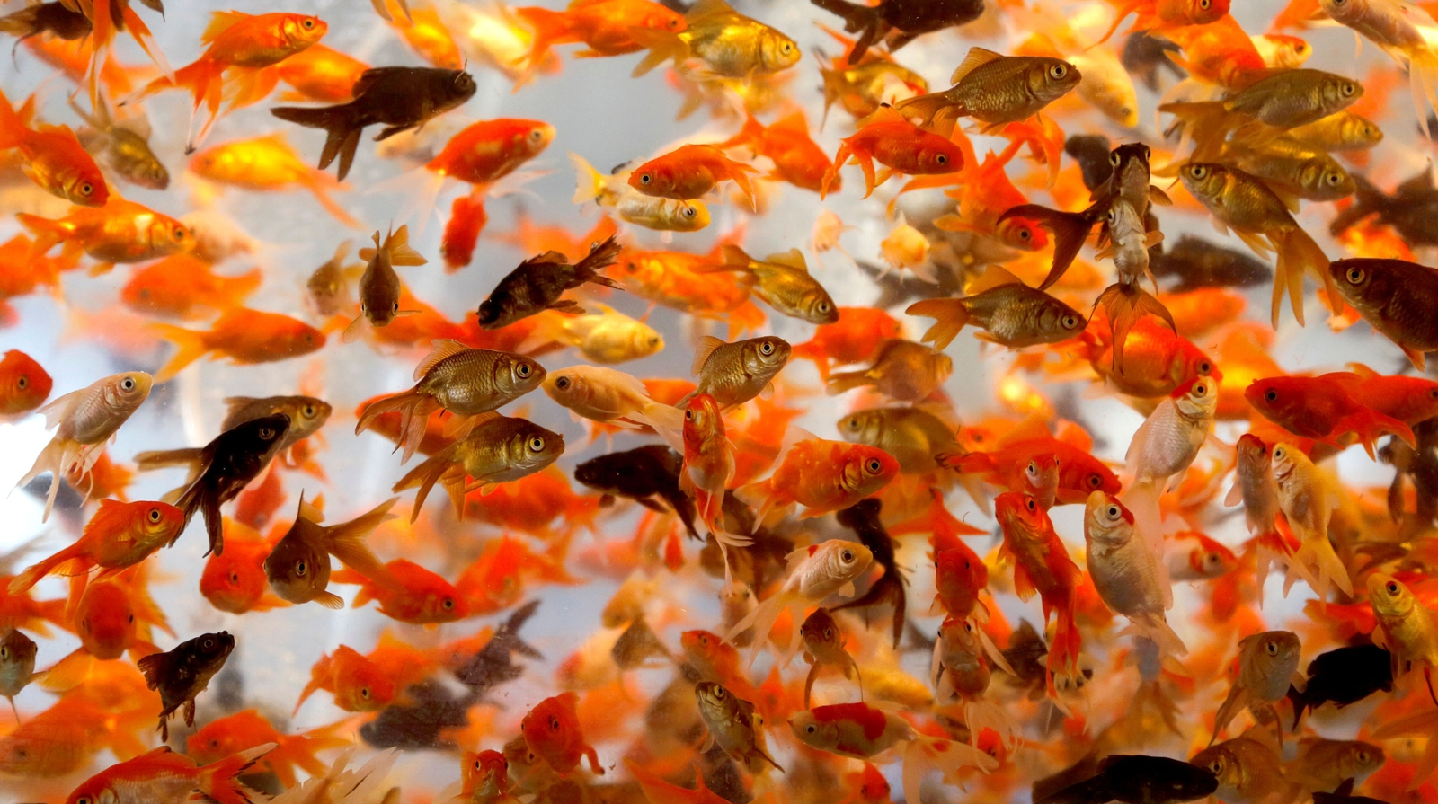 Image - Goldfish in a bowl in Tehran ahead of the Persian new year Noruz. Photo: Atta Kenare/AFP/Getty