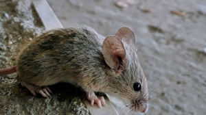 Scientists have figured out how to confer a superpower to ordinary rodents.
