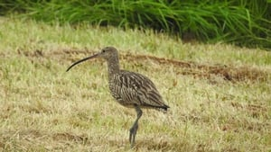 The curlew population is currently 138 pairs, a decrease of 96% in almost 30 years