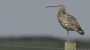 Web video: World Curlew Day