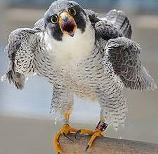 Falconer Martin Ballam on the scourge of seagulls!