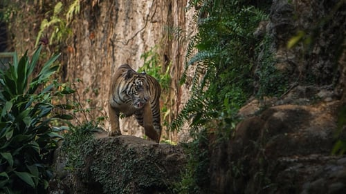 Sumatran tigers are critically endangered, with fewer than 400 living in the wild, according to the World Wildlife Fund