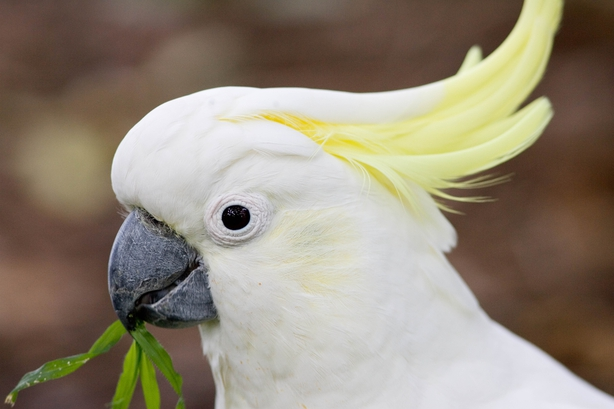 Sulphur-crested Cockatoo, Australia. (Photo by Tim Graham/Getty Images)