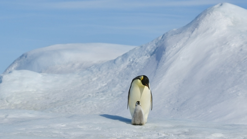 Emperors are the world's largest penguin species