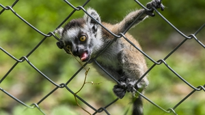 A baby lemur tries to get plant outside his enclosure during a sunny day at the Zoo in Skopje, Republic of North Macedonia | Image: EPA-EFE/Georgi Licovski