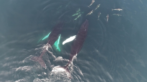 These drone images were captured by the Irish Whale and Dolphin Group