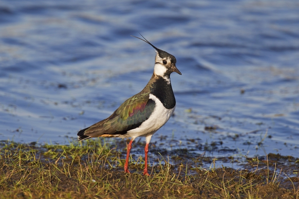Northern Lapwing (Vanellus vanellus) foraging on lake shore (Photo by: Arterra/UIG via Getty Images)