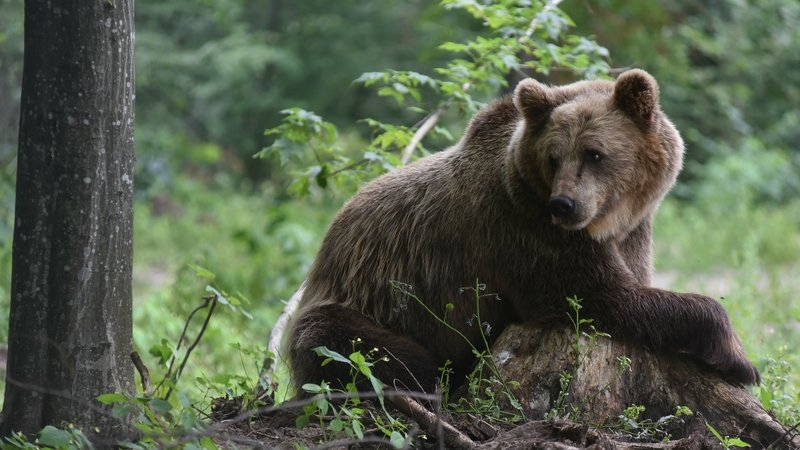 There are some 330 bears in the Cantabrian mountain range in Spain