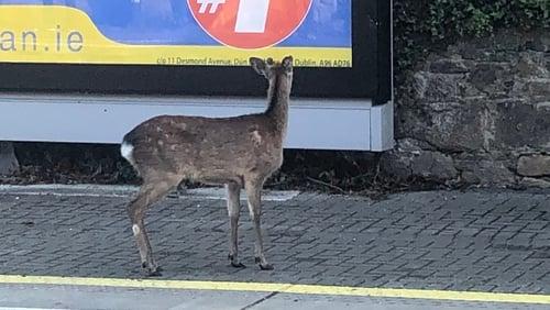 A deer on the platform in Glenageary (Image: Ronan O'Keeffe)