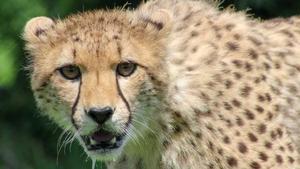 Fota Cheetah