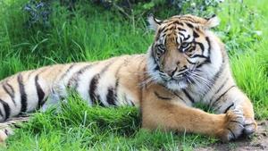 Fota Tiger