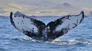 A whale that had been photographed off the west Kerry coast has been pictured off Cape Verde in west Africa