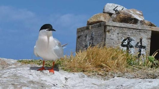 Bird Conservation Project - Rockabill Island