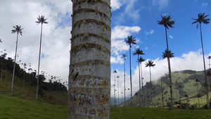 Colombia's national Quindio wax palm tree faces extinction due to non-breeding, livestock and now the probability of mining