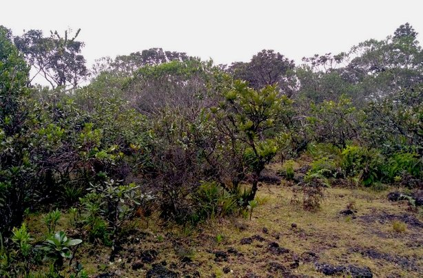 Raining a lot in the Sideroxylon thicket - the birds are flying for cover (photo: Twitter / Island Biodiversity @Tropical_IBEC)