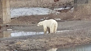 The polar bear was hundreds of kilometres from its natural habitat (Pics: Putoranatour)