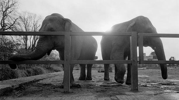 Elephants in Dublin Zoo (1991)