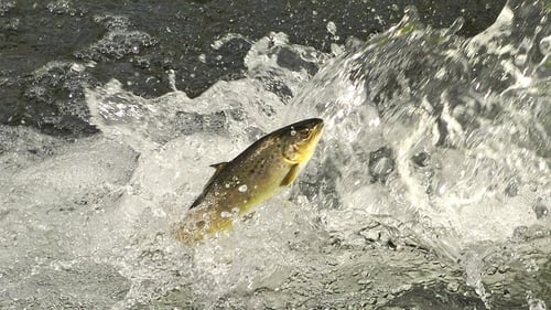Brown trout was the species most affected