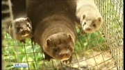 Six One News (Web): Proposals to end fur farming to be brought to Cabinet