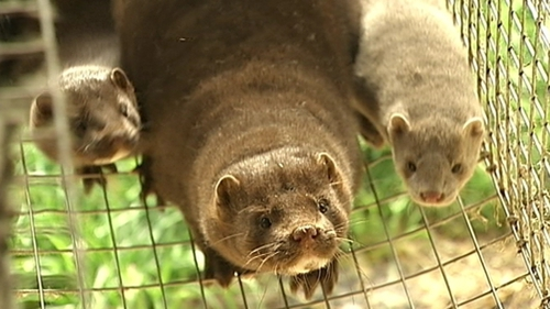 14 EU member states have banned the farming of mink and other wild animals