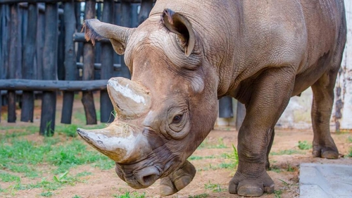 The rhinos will live in enclosed spaces until they are deemed ready for the wild (Courtesy: Rwanda Development Board)