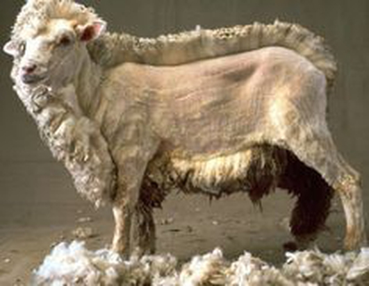 Sheep Shearing World Championships