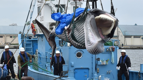 A minke whale was landed shortly after whaling resumed