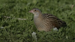 Birdwatch Ireland says that there has been an 'almost complete extermination' of farmland birds such as the Corncrake