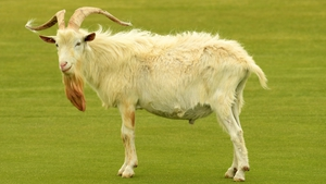 A goat spotted on the course during today's practice