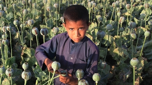 An Afghan boy extracts raw opium