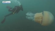 RTÉ News: Divers swim with 'giant' jellyfish off Cornwall