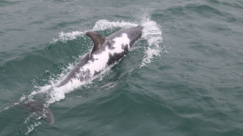 Dolphin that survived severe sunburns filmed in Kerry