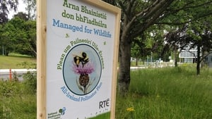 RTÉ's bee-friendly zone. Photo: Ciaran O'Byrne