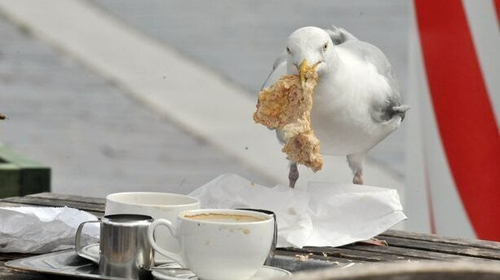 Locking eyes with seagulls could reduce the risk of them stealing your food