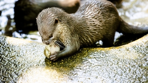 An Otter enjoys a cooling snack at a zoo in the Netherlands