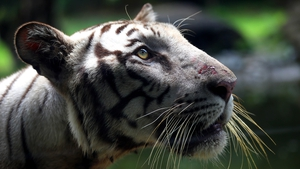 The census found 2,967 tigers in the wild across the country, up from 2,226 four years ago (file pic)