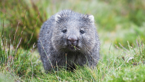 Wombats are a protected species