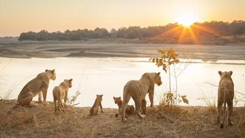 Lionesses in Zambia. Photo: Getty