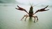 Naturefile - Crayfish